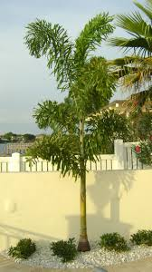 buy foxtail palm trees for sale in orlando kissimmee