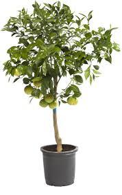 viveros alcanar citrus plants and ornamental fruit trees