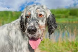 types of setter dog breeds types of bird dogs birds of prey