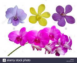 diuris corymbosa common donkey orchid bush orchids stock photos u0026 bush orchids stock images alamy