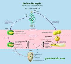 Life Cycle Of A Flowering Plant - zea mays corn maize mealie taxonomy life cycle flower and