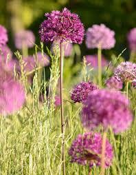 buy allium purple sensation garlic de warande