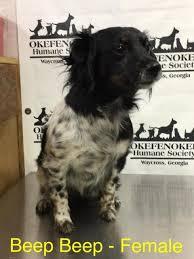 affenpinscher for adoption yli tuhat ideaa affenpinscher pinterestissä doberman puppies
