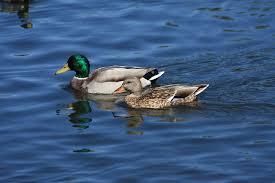 mr johnson u0027s wildlife swan duck and goose food