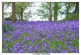 diary of an english country garden the bluebell season