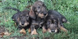 Tierheim Bad Salzuflen Hunde Dackel Welpen Rassehunde Hunde Welpen Haustier Anzeiger