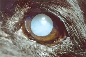 Diabetes Causing Blindness Guest Post Why Are My Dog U0027s Eyes Turning Gray