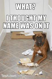boxer dog sayings 549 best boxer pictures images on pinterest boxer love boxer