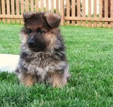 hausbeck imported german shepherd puppies lancaster ad free