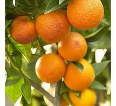 buy orange plant at cheap price india s plants