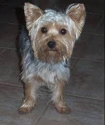 silky terrier hair cut silky terrier clipground