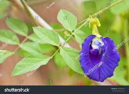 clitoria ternatea known butterfly pea flower stock photo 105445637