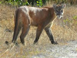 florida panther population has increased fwc reports blogs