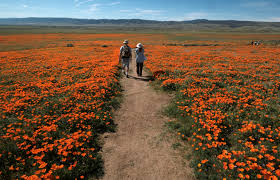 wildflowers dormant for years bloom across california the blade