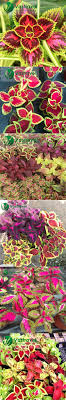 mix coleus 100 seeds tropical perennial ornamental foliage plants
