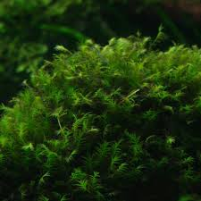 Aquascape Moss Fissidens Geppi On Sale Now Aquatic Mag