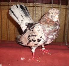 roller pigeon breed information modern farming methods