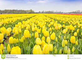 yellow tulips bulb field stock photos image 24550323