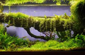 glosso growing vertical uk aquatic plant society