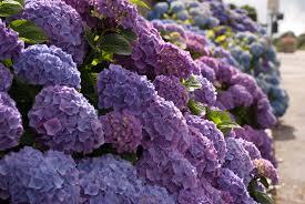 Pictures Of Garden Flowers by Lacetop Hydrangea Lisa Cox Garden Designs Blog