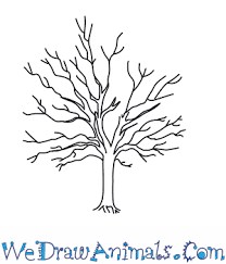 how to draw a sycamore tree