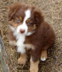 australian shepherd miniature texas miniature australian shepherd puppies