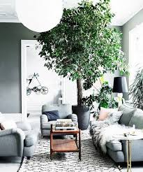 living room trees the best indoor trees