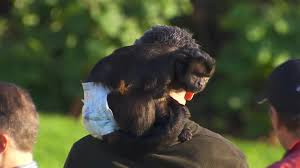 gary mccord gets the giggles after spotting a monkey in a nappy at