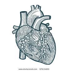 hand drawn realistic human heart sketch stock vector 257317177