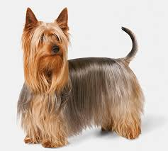 bichon frise vs yorkie silky terrier dog breed information pictures characteristics