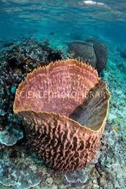 Azure Vase Sponge Facts Glass Sponges Characteristics Images U0027n Biology Pinterest