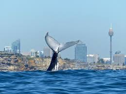 cruises to sydney australia congratulations to sydney princess cruises and oz whale