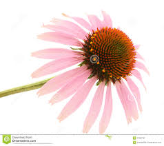 Echinacea Flower Echinacea Flower Stock Photo Image 21228730