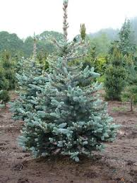 colorado blue spruce picea pungens bacheri from essen nursery