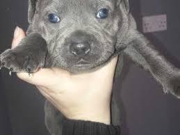 american pitbull terrier puppies for sale uk staffordshire bull terrier dogs and puppies for sale in preston