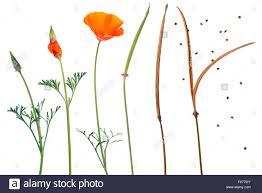 eschscholzia californica california poppy sequence showing the