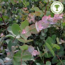 eucalyptus trees buy gum trees online ornamental trees ltd