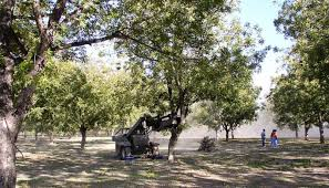 harvesting pecans in the hill country at home and in orchards