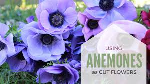 anemones flowers how to use anemone coronaria as a cut flower in arrangements