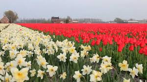 tulip fields in the netherlands youtube