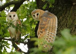 barn owl pair wing stretch in the middle of an oak tree