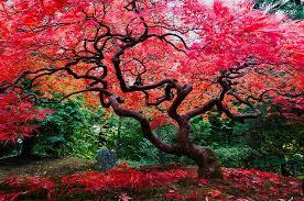 bright color maple tree photograph by hisao mogi