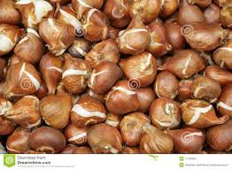 tulip bulbs for sale stock photography image 11156922