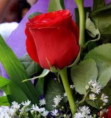 imagenes flores bellisimas fotos de flores hermosas y bellas rosas violetas margaritas