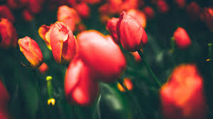 Best Wallpaper Site by Wallpaper Tulips Flora Bloom Hd 4k 8k Flowers 2632