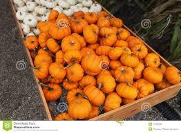 small pumpkins small pumpkins or gourds stock photo image of fall autumn 11159250