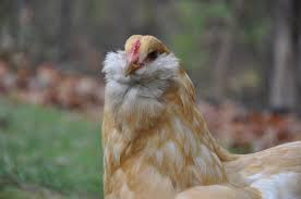 buy easter egger chickens green eggs and ham community chickens