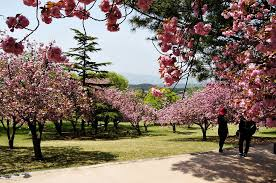 it u0027s spring enjoy spring in gyeongju
