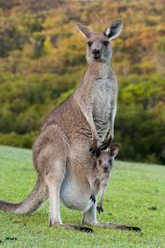 how is a wallaby different from a kangaroo read to know
