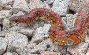 large florida corn snake youtube